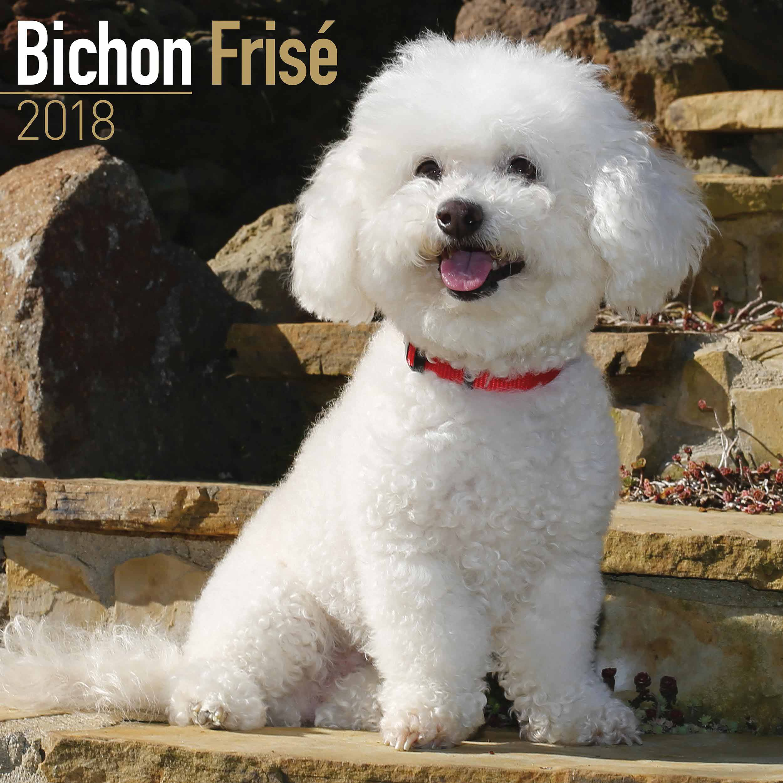 Pictures Of Bichon Frize Dogs
